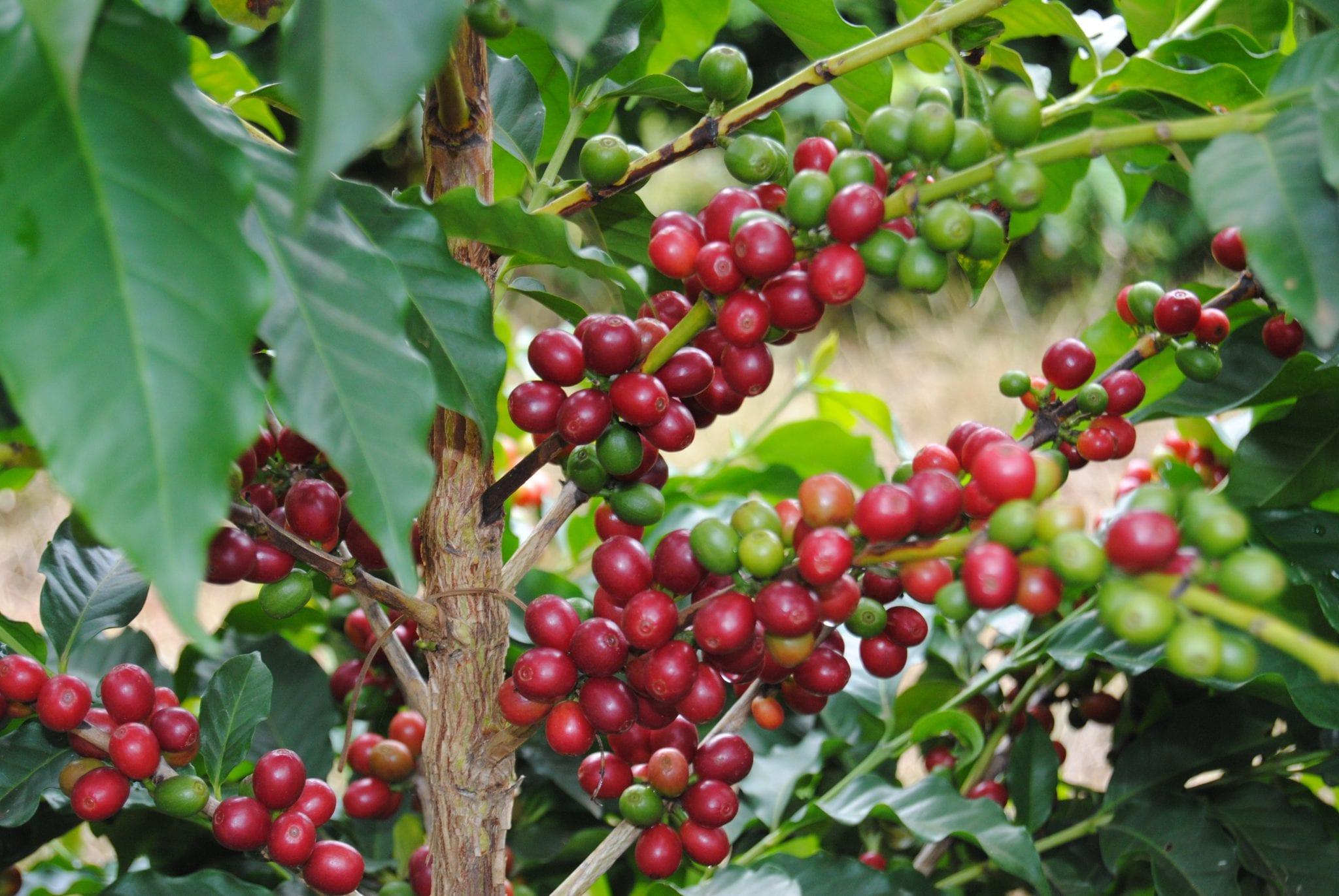 Coffee Plants, Coffee Cherries, Coffee Berries, Coffee Beans