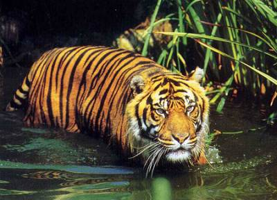 Affinity With Tigers