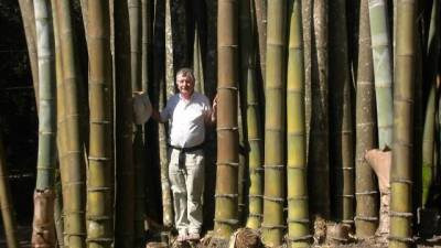 Bamboo That Was Over 100 Feet Tall