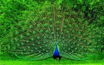 b2ap3_thumbnail_Beautiful-Peacock-HD-Wallpapers.jpg