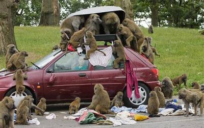 Picnic With Baboons