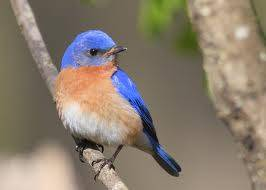 b2ap3_thumbnail_bluebird.jpg