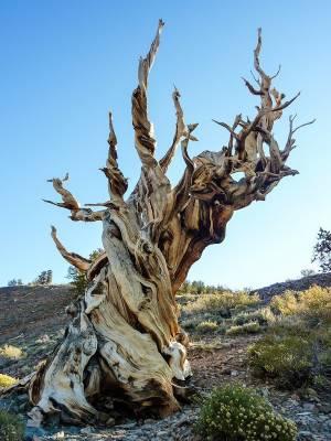 b2ap3_thumbnail_bristlecone-pines-46_20161121-173821_1.jpg