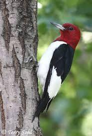 b2ap3_thumbnail_red-headed-woodpecker.jpg