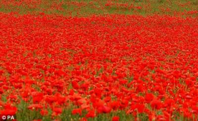 b2ap3_thumbnail_red-poppies.jpg